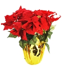 12 Poinsettia Flowers in Gold Pot